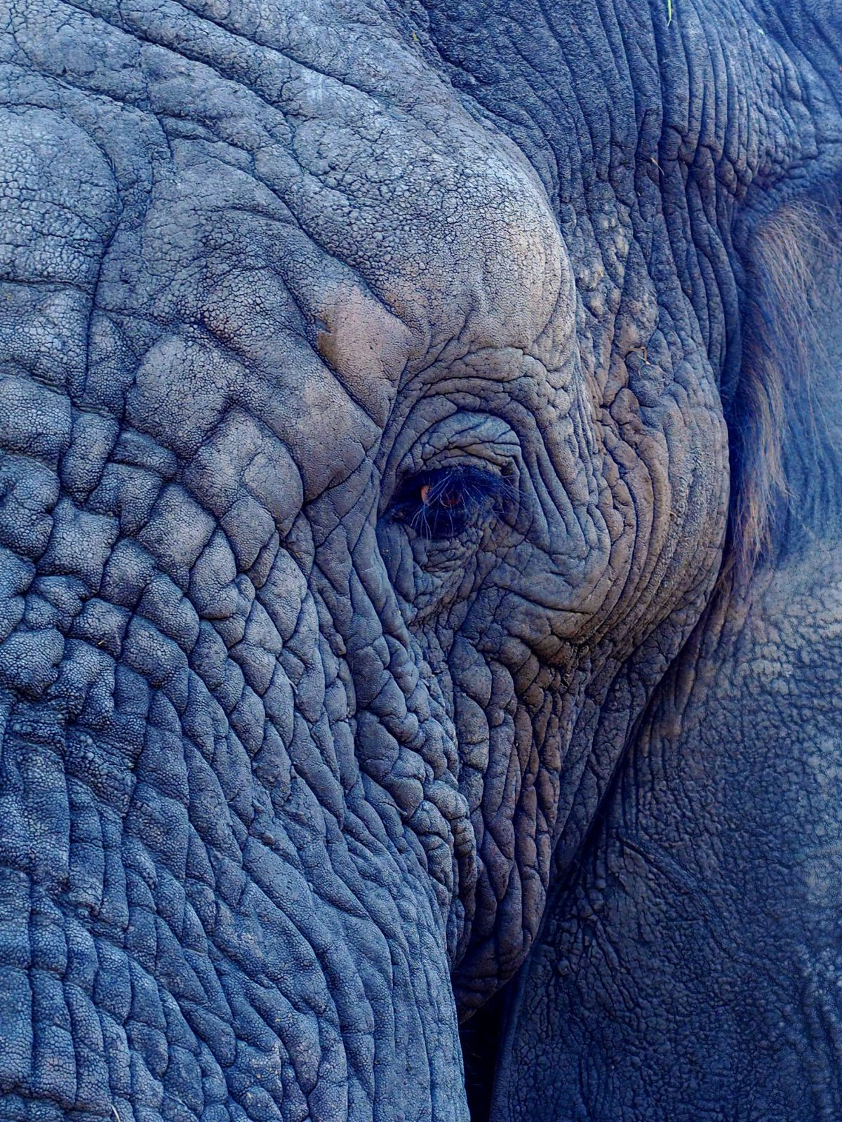 A picture of an elephants eye and part of his trunk showing wrinkled skin