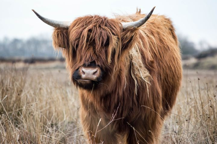 Highland cow (with horns) in a field