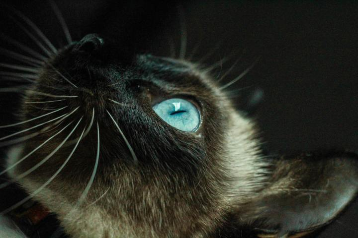 Siamise cat on black background with blue eye
